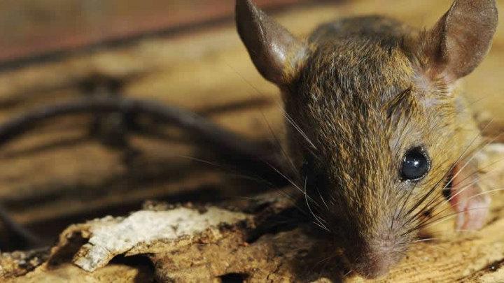 Knaagdieren en insecten vs isolatie
